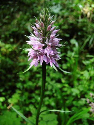 Vysokohorská orchidej