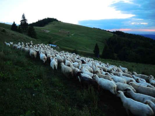 Zahánění oveček do noční ohrady