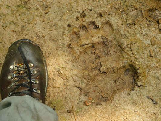Před náma tady šel slušný medvídek