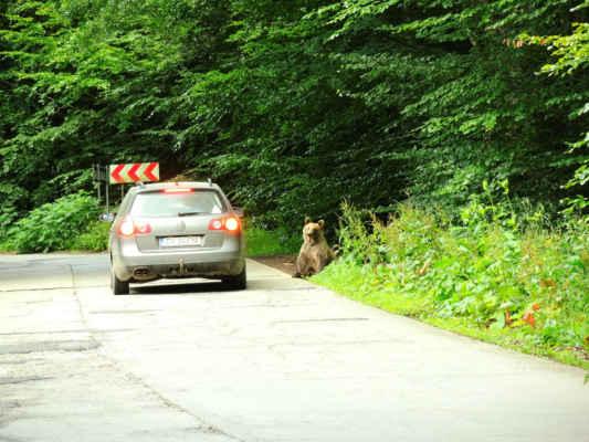 O pár kilometrů dál: medvědi na stopu.