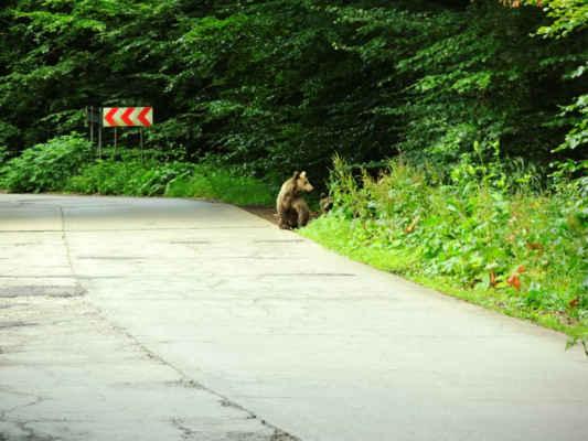 Asi jedou jinam.  Podotýkám, že my jsme šli pěšky a mladí medvídci ta radši zahli do lesa.