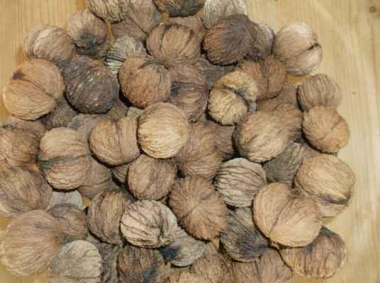 Ořešák černý (Juglans nigra) - ořech