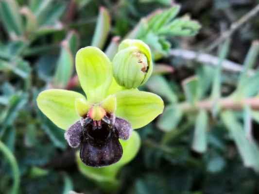 pro nás nový druh tořič trubcovitý (Ophrys bombyliflora), naším pracovním jménem bombík, chorvatsky Svilena cvijetna kokica. Místama nebylo kam pro ně šlápnout.