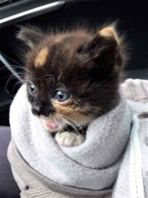 8.6.2020 - Dnes nám paní nahlásila, že v Kyjově pod keřem naříká kotě. Podle sousedky tam plakalo den a noc, nenašel se nikdo, kdo by měl pocit, že 6 týdnů staré kotě nemá venku co dělat a že potřebuje pomoc, až oznamovatelka. Vyhladovělá kočička je umístěna do karantény.
