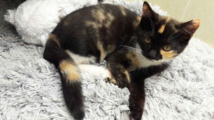 7.9.2020 - Čokoládka může do nového domova! Je úžasná, sladká, milá, mazlivá a velmi důvěřivá. Má nádherně jemný kožíšek a velmi ráda dovádí s ostatními koťaty, proto hledá domov u podobně starého kamaráda nebo mladé kočičky.