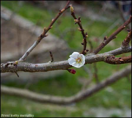 Středohoří - První květy meruňky,Církvice, jižně od Ústí v údolí Labe,180 m.n.m.